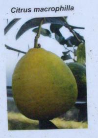 Citrus_macrophilla.JPG