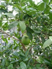 Citrus_macrophilla_____.JPG
