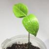 Размножение пассифлор  семенами и черенками - последнее сообщение от LeshaTito